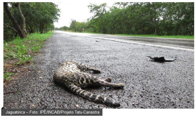 Segundo estimativas do Centro Brasileiro de Estudos em Ecologia de Estradas (CBEE), da Universidade Federal de Lavras, mais de 450 milhões de animais silvestres são atropelados nas rodovias do Brasil a cada ano. Isso significa que perdemos 15 animais por segundo devido a colisões com automóveis. O problema é alarmante e causa um impacto direto na conservação da biodiversidade do país.