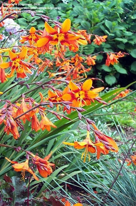 28 best Crocosmia images on Pinterest Flowers Garden plants and