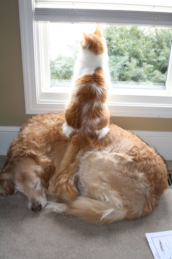 A cat sitting on a sleeping dog to get a better view out of the window.