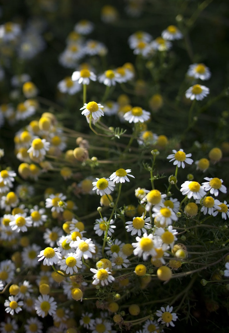 Chamomile is one of the most important herbs grown at Jurlique farm, as it is featured in a large number of our skin care formulas. Chamomile is grown easily on Mylor farm as the soil conditions and environment combined with biodynamic practices are optimal for the production of good quality chamomile crops.
