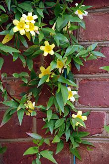 Vines | Yellow Jasmine, I love Jasmine, I would like it in every color it comes in.