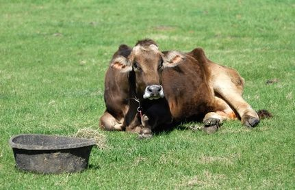 Brown Swiss Cow Facts