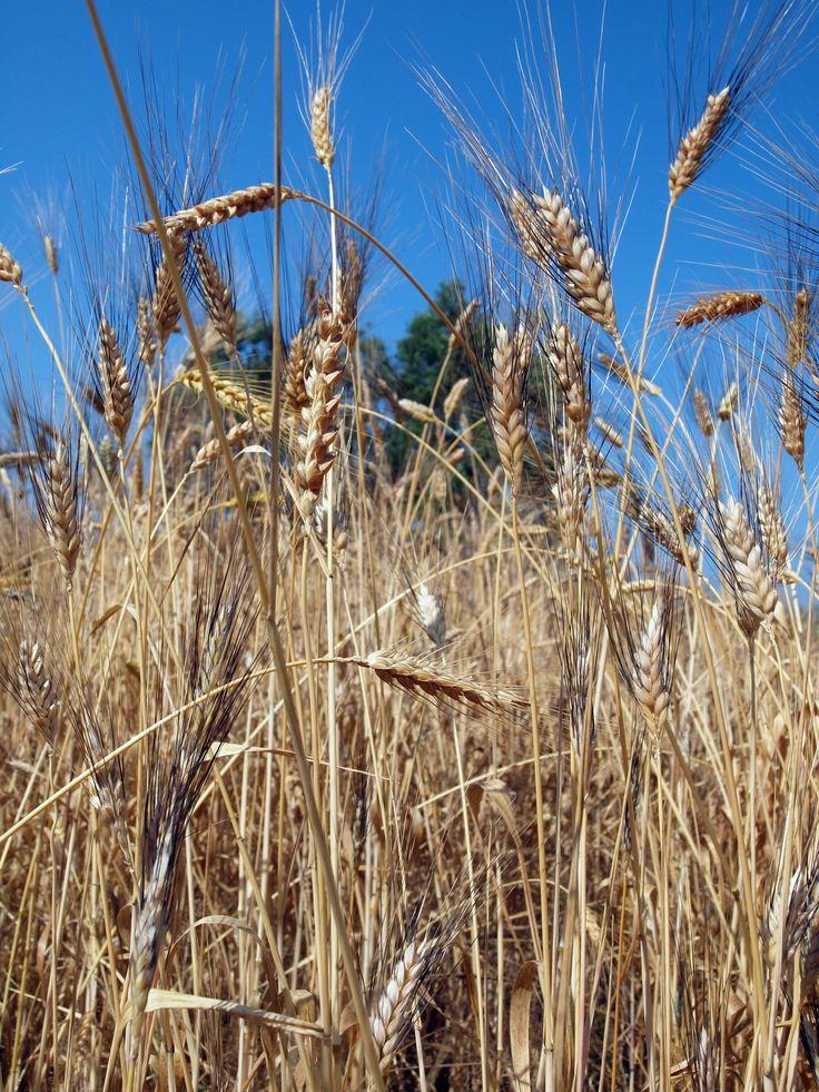 campo grano Senatore Cappelli