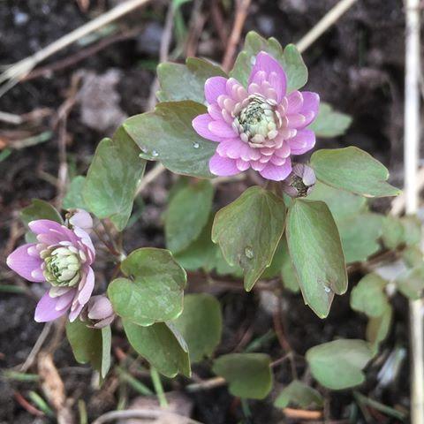 """Godkväll. Nu blommar Sipprutan  Anemonella thalictroides """"Oscars Schoaf"""" En helt ljuvlig liten blomma och jag är så glad att den återkommer varje år. Önskar er alla en härlig lördagskväll 🌸🌸🌸 A little beauty in my garden. So glad to see it again. Enjoy the evening 🌸🌸🌸 #sippruta #skönhet  #beauty  #minträdgård  #mygarden"""