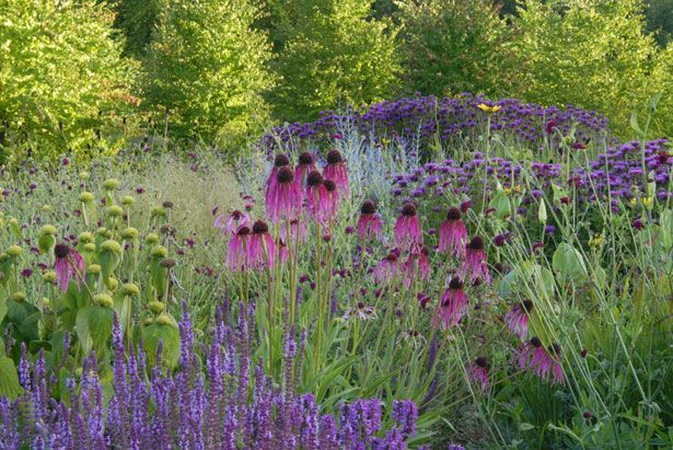 Note it's the native echinacea--prettier. Phlomis and also the native rudbeckia.