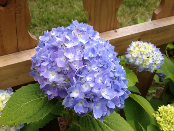 The Secret to My Hydrangea SuccessGardens Someday, Growing Hydrangeas, Gardens Pinterest, Beautiful Hydrangeas, Hydrangeas Success, Blog Design, Favorite, The Secret, Backyards Landscapes And