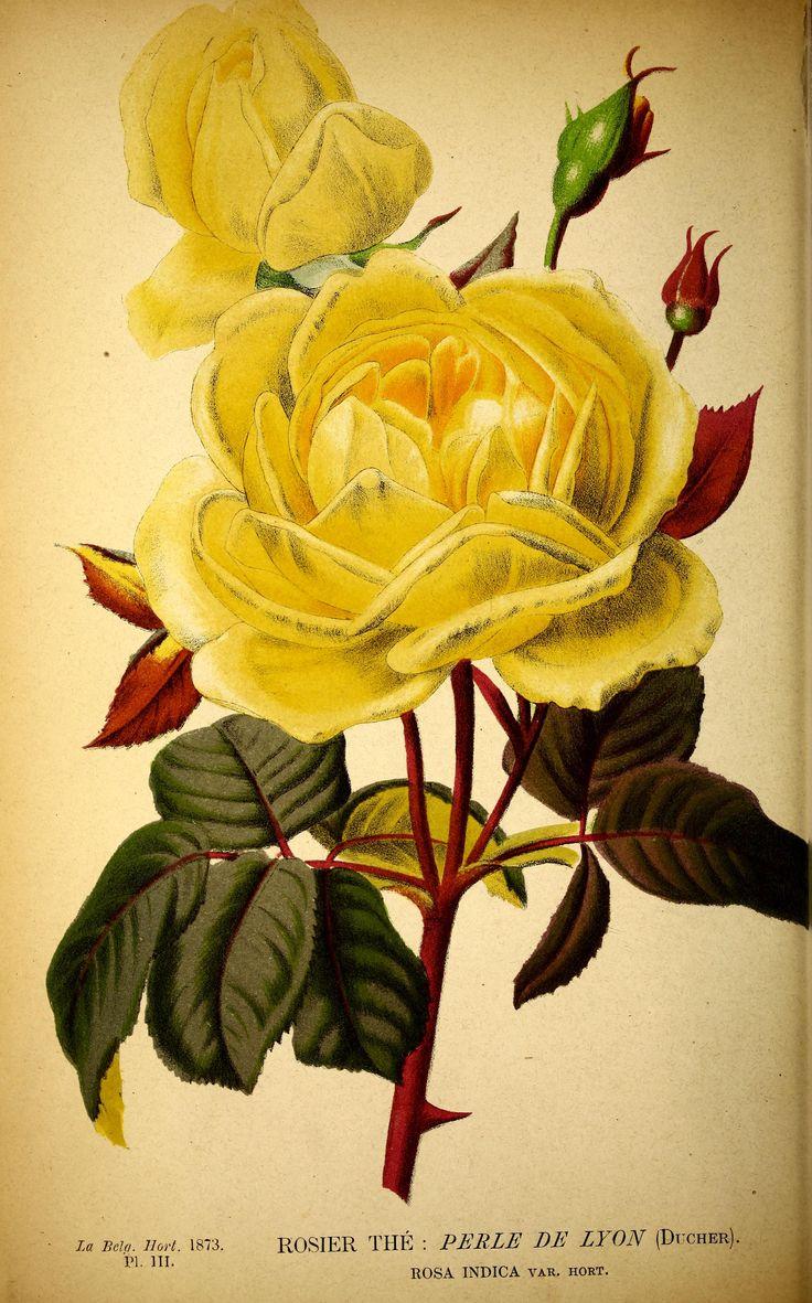 Rosa 'Perle de Lyon' - 1873