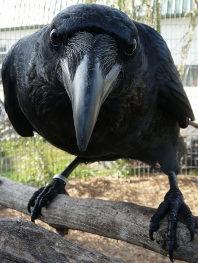 crows are simply the coolest!: Writing Desks, The Crows, Big Boys, The Ravens, Black Birds, Close Up, Closeup, Animal, Eye