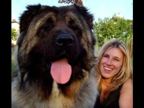 Los perros mas grandes del mundo realmente increible - Big Doc