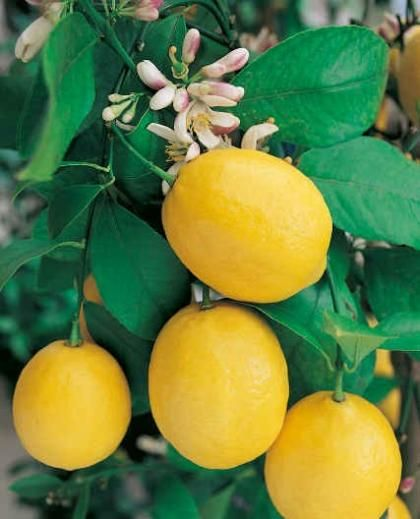 Meyer citrom, Citrancs - virágzó/termőképes/bokros (60cm) (Citrus limon 'Meyeri'): Citrusfélék | Ár: 6500.00 Ft