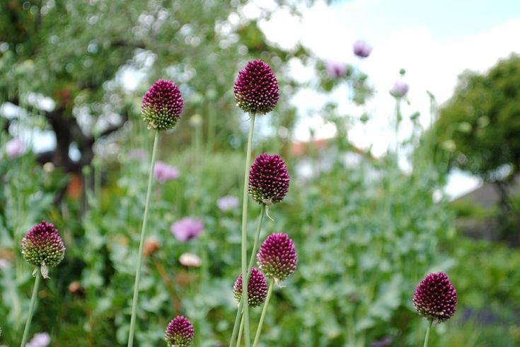 Allium sphaerocephalon. Klotlök. Man kan inte få för många!