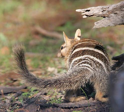 Mammals Of The World   Numbat