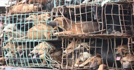 In the latest victory in the fight to end the Asian dog meat trade, China's large online food delivery service, Ele.me has said that restaurants that serve dog meat will be removed from its platform. This will be a huge blow to these restaurants, with approximately 300 establishments losing access to a significant customer base. Ele.me normally handles an average of 5 million food orders a day and has more than 70 million users in over 700 Chinese cities. A huge step to end the dog meat…