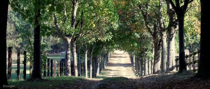 Chemin ombragé au haras du Lion d'Angers