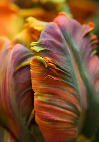Tulip.                                                          How fantastic are these colours!