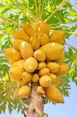 mamão papaia - Bahia - Brasil