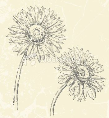 Gerbera Daisy Drawing Royalty Free Stock Vector Art Illustration ...