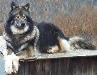 Native American Indian Dog Most witches want kitty cats I want this spirit guide looking ass beauty.