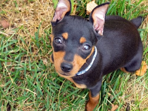 Min Pin. Reminds me of our Dobbie G. Never ever be another Little Mandog!!!