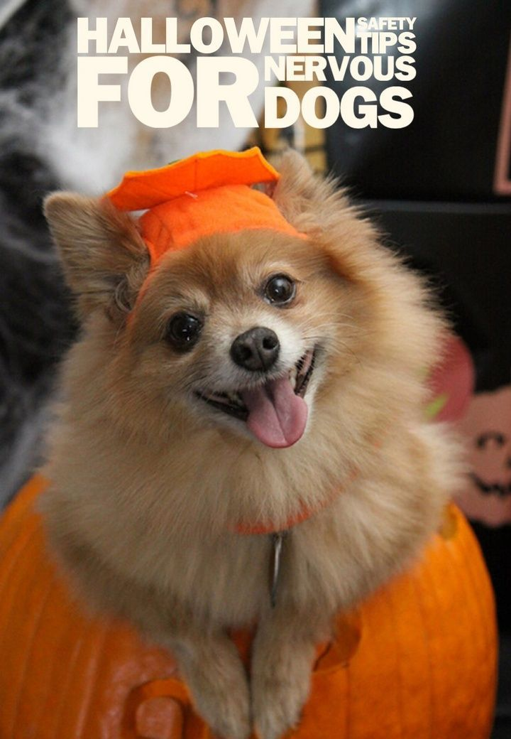 halloween safety tips for your nervous dog - Halloween Tips