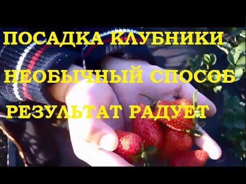 Planting Strawberries, An Unusual Way //  Как посадить укроп на цветочную клумбу... Все о цветах , рассаде, урожае и способах выращивания орхидей.Здесь я делюсь своим опытом в выращивании и уходе за ...