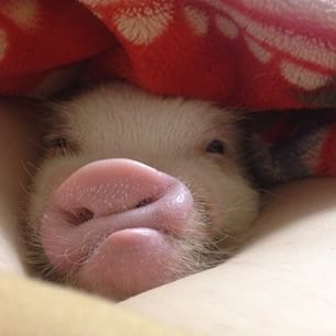 i love you pig - Google Search