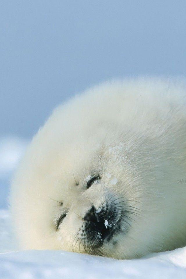 Best 25+ Baby harp seal ideas on Pinterest | Baby seal ...