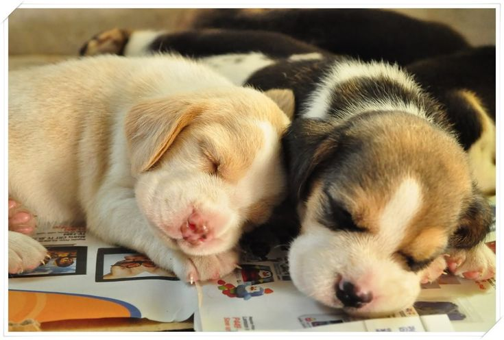 Beagle pups Vanilla and Paprika. Makes me miss my baby boy
