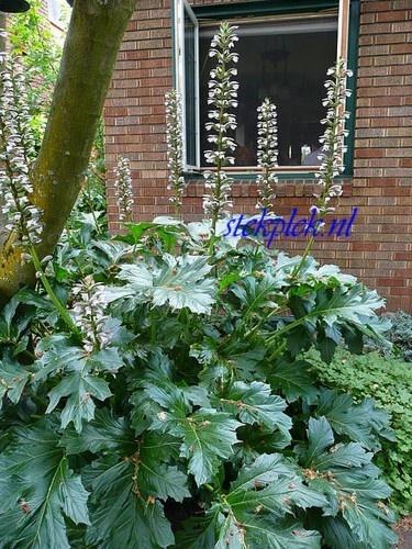 Acanthus mollis   VASTE PLANTEN   Tuinplanten stekplek