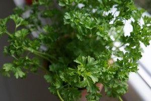 ¿A quién no le gusta cultivar sus propios condimentos? Con esta información podrás cultivar perejil en el interior o exterior de casa ¡Y EN MACETAS! ¡Genial!