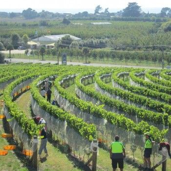 NZ 2013 wine vintage maybe the best ever