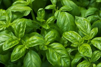 Medicinal benefits of basil!  Putting seeds in a container today!!!!