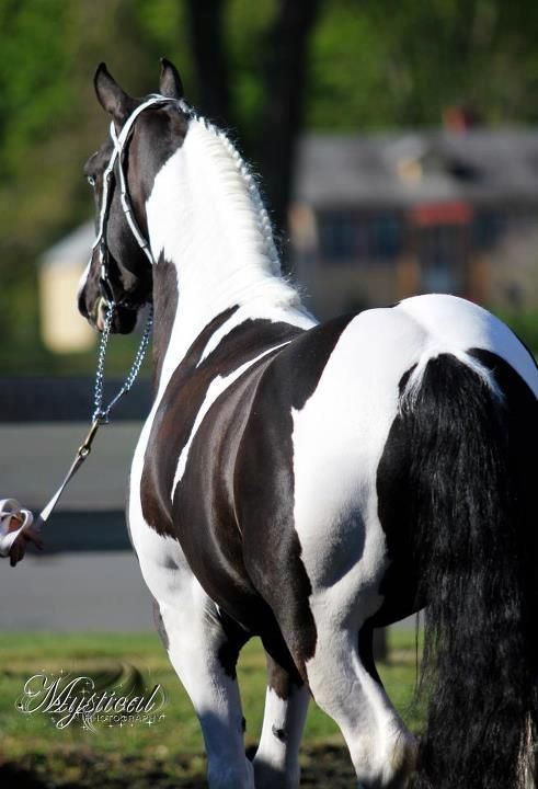 Black and white Friesian paint horse. | Equine Images ...