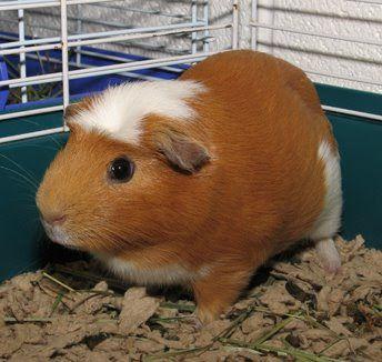 Different types of guinea pigs | peruvian guinea pig | silkie guinea pig | teddy guinea pig | Texel guinea pig | Himalayan guinea pig | Abyssinian guinea pig | Rex guinea pig | Skinny pig.