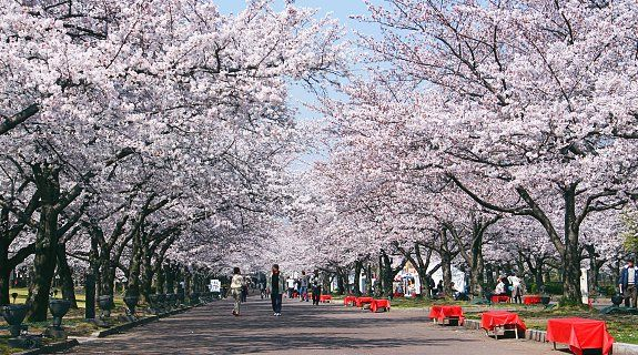 On Japan's southern, subtropical islands of Okinawa, cherry blossoms open as early as January, while on the northern island of Hokkaido, they bloom as late as May. In most major cities in between, including Tokyo, Kyoto and Osaka, the cherry blossom season typically takes place in early April.