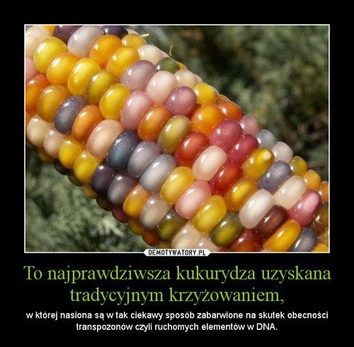 To najprawdziwsza kukurydza uzyskana tradycyjnym krzyżowaniem, – w której nasiona są w tak ciekawy sposób zabarwione na skutek obecności transpozonów czyli ruchomych elementów w DNA.