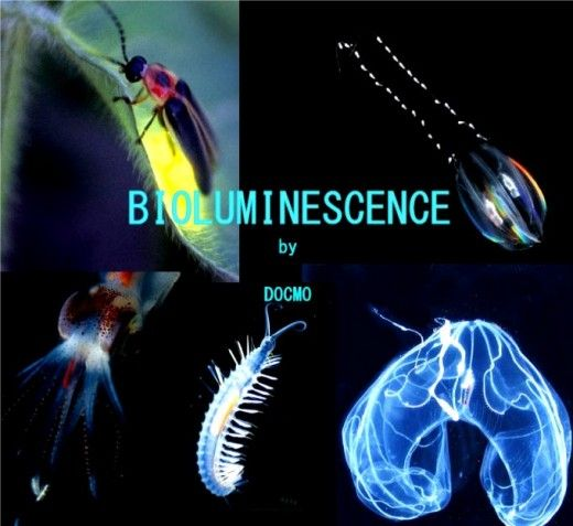Animals that Glow : The Science of Bioluminescence