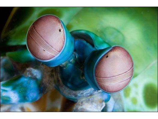 O camarão mantis, que têm os olhos mais complexos do reino animal, é um deles (Foto: Sterling Zumbrunn)