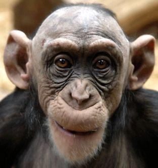 bald headed monkeys | Drivers Licenses Viewable Online ...
