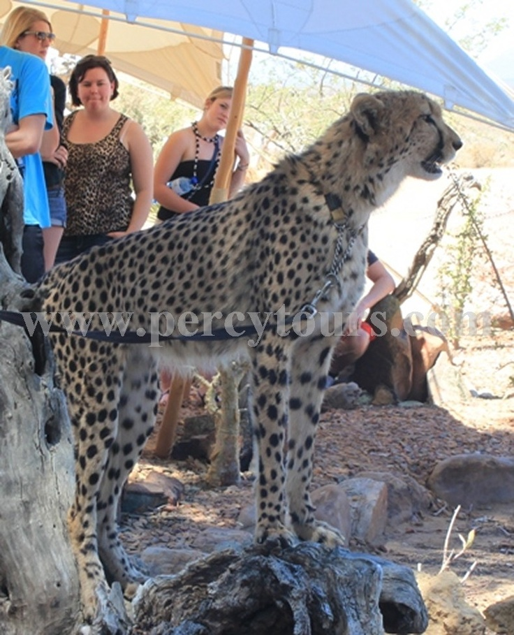 Safari park tours with Percy Tours, only 3hrs from Cape Town or Hermanus. Come walk with the Cheetahs - www.percytours.com