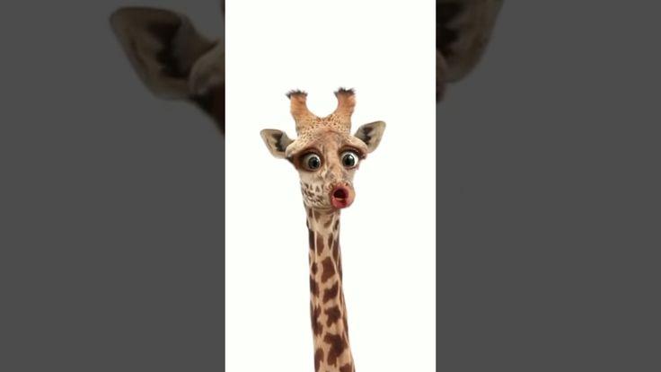 Giraffe hatt kein Bock