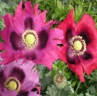 PEPPERBOX POPPY FLOWER SEEDS 50 FRESH SEEDS FREE USA SHIPPING
