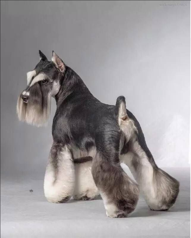 73 best terrier grooming hairstyles images on pinterest dog both dogs love one anothers company and play together constantly if socialized correctly it becomes along well with other dogs too solutioingenieria