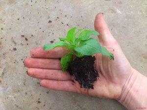 Рассада.Посадка семян осуществляется в конце зимы/начале весны. Почва, используемая для высадки рассады-это смесь песка с перегноем, дерновой и листовой землёй. Поверхностный слой почвы, примерно 1 см, перед высадкой посадочного материала рекомендуется просеять. Это улучшает условия произрастания сеянцев. За 24 часа до посева семян почву необходимо хорошо увлажнить.  РассадаПоскольку семена сурфинии очень мелкие, то перед высадкой их смешивают с песком. Также, можно использовать семена в…