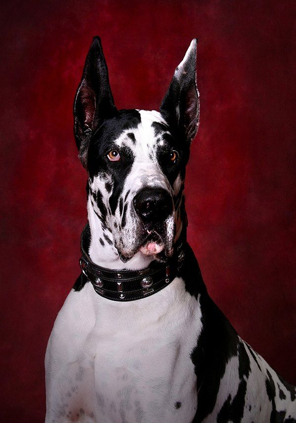 Black and white #Great #Dane