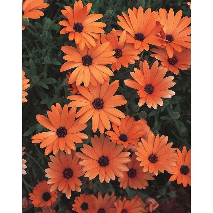 Bewährte Gewinner Orange Symphony (Osteospermum) Lebende Pflanze, Orangenblüten, 4,25 Zoll, 4er-Pack-OSTPRW1037524 Orange  u00a0Symphony Osteospermum  u00a …