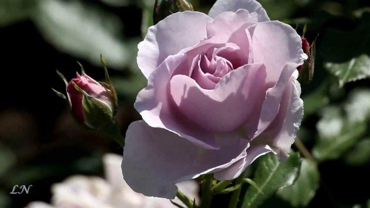 Розы и саксофон...  -  Roses... Fausto Papetti -  Amado Mio