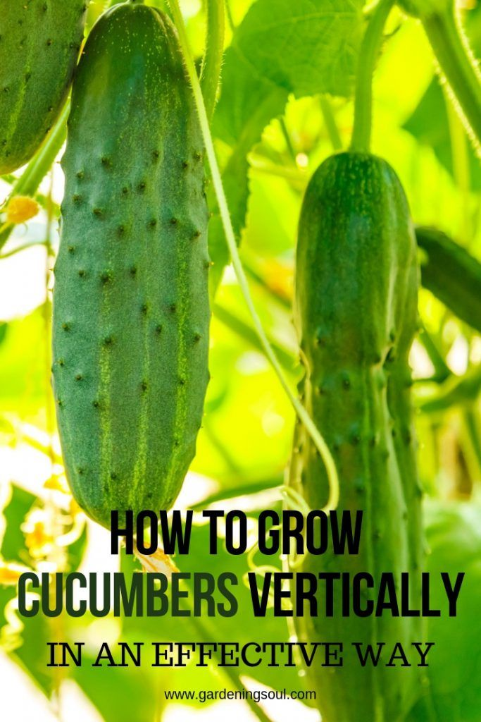 How To Develop Cucumbers Vertically In An Efficient Manner
