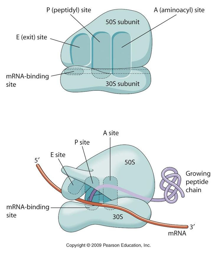 mitosis and protein synthesis Protein synthesis  genetic information is converted from a sequence of  nucleotides in dna to a sequence of amino acids in a protein  cell cycle and  mitosis.