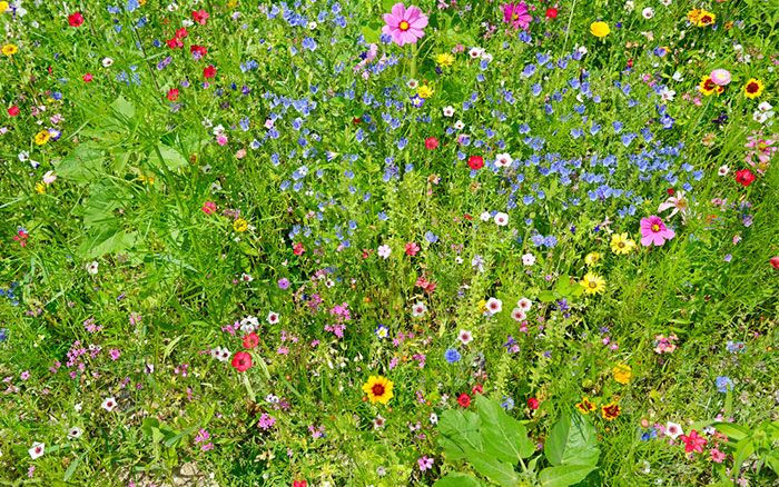 Ornamental wildflowers create spectacular colour and make a diverse environment for birds and insects. They are ideal for bringing new life to an unused part of the garden.  Flowering meadow patches and borders are also low maintenance and cheap to produce. The seeds